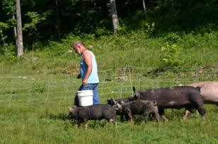 Feeding Berkshire Hogs