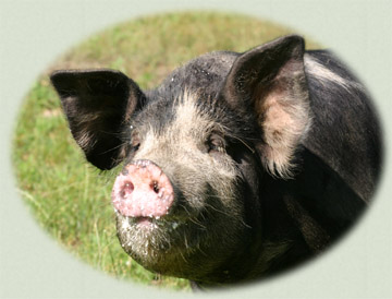 Photograph of a Berkshire (Kurobato) Hog