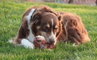 Zoe was the Official Taste Taster for Ask The Meatmans Natural Smoked Dog Bones! Click on Zoe's Picture to visit her Official Web Page and see 5 more large pictures of Zoe and our Dog Bones. Now Henry - the Australian Shepherd in the video clip on the right - is our New Dog Bone Taste Tester!